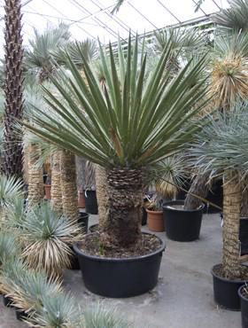 Hydro- Yucca faxoniana vanaf