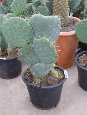 Hydro- Opuntia Rotundifolia vanaf