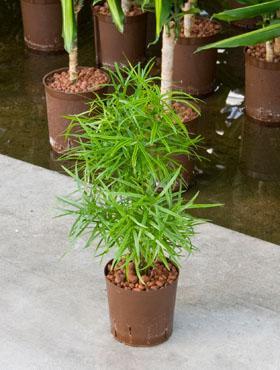 Hydro- Asparagus falcatus vanaf
