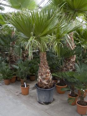Hydro- Washingtonia robusta vanaf